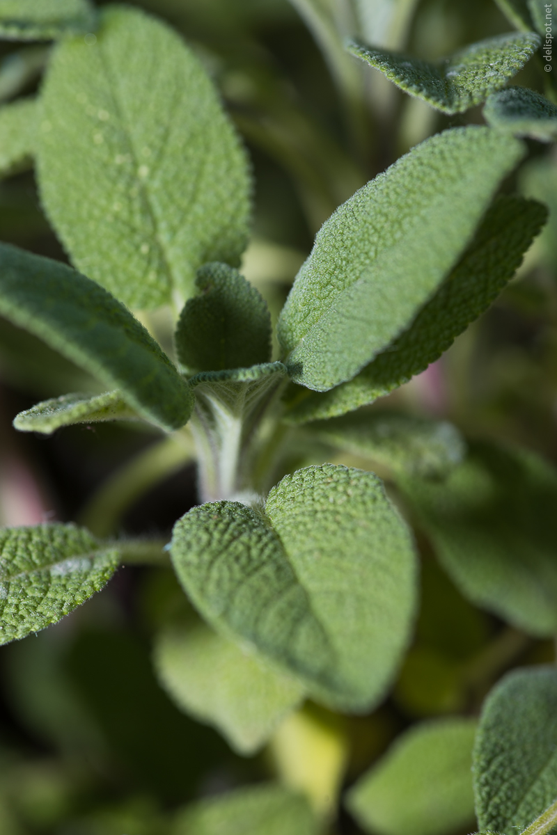 Apotheker-Salbei (Salvia officinalis »Grower's friend«)